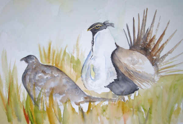 Sage grouse drawing - photo#20